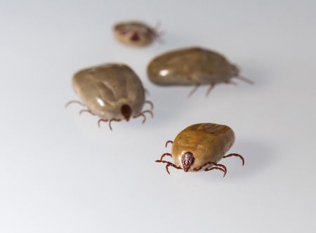 dog tick: Big dog tick sucking blood is ready to breed Stock Photo