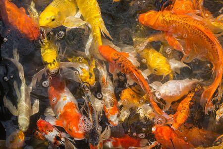 mirror carp: Fancy carp; Mirror carp .Fish in the pool Stock Photo