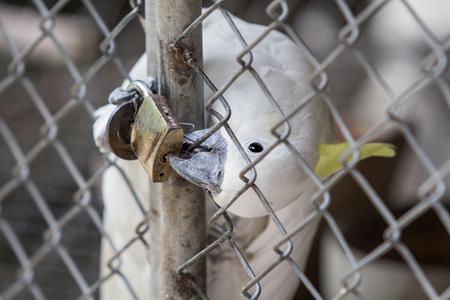 key to freedom: Cockatoo trapped in a steel cage. bite the key because its want fly to freedom.