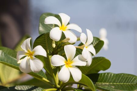 lao: The Dok Champa (Plumeria) is the national flower and official symbol of Lao PDR. The waxy flower with a sweet scent.