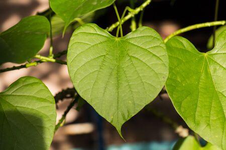 Green leaf heart shaped