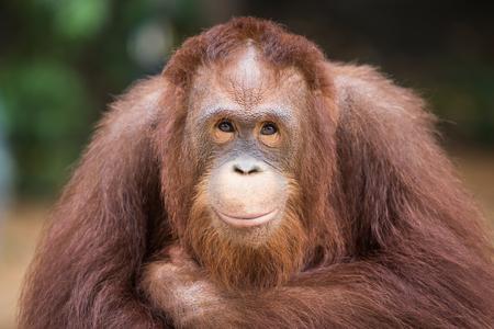 Retrato sonriente Los orangutanes se sientan para que el fotógrafo tome una foto.