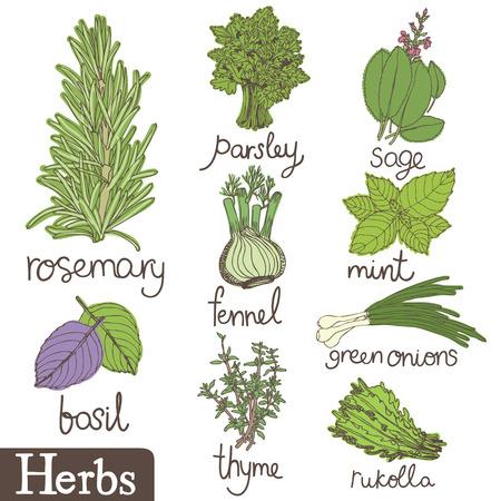 fresh herbs: Herbs set.