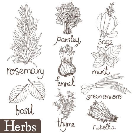 albahaca: Hierbas culinarias establecen. Vectores