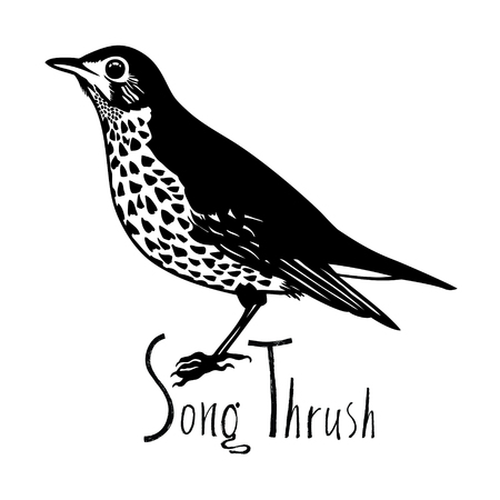 wade: Birds collection Song Thrush Black and white vector Garden songbird