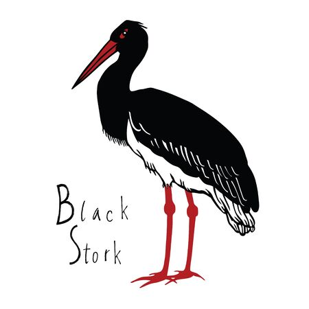 wade: Birds collection Black Stork Color vector object
