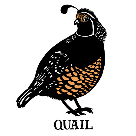 Quail Vector isolated object Cartoon drawing