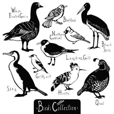 wade: Birds collection Black Stork Goldfinch Laughing Gull Quail Hoopoe White Fronted Goose Shag Northern cardinal Blackbird Black and white vector objects Illustration
