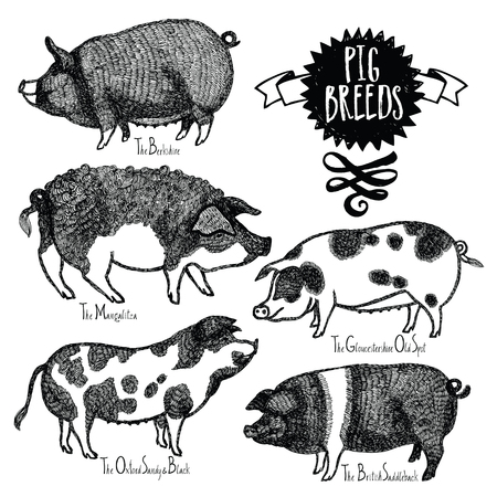 skecth: Pig Breeds Vector illustration Sketch style Hand drawn object