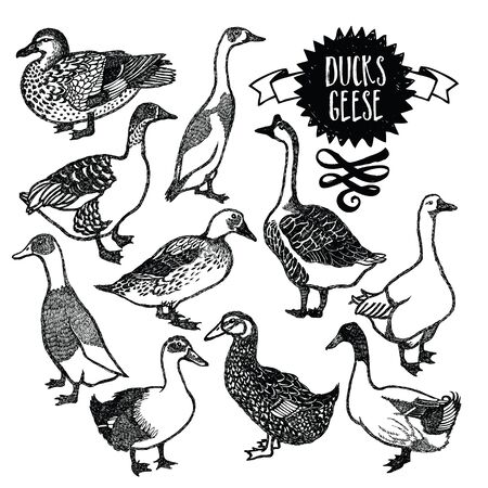 isolated object: Farm birds Ducks and geese Isolated object Illustration