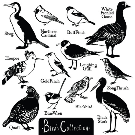 wade: Birds collection Birds silhouettes Vector isolated objects BullFinch Shag Hoopoe Quail Blue Wren Black Stork Northern Cardinal White Fronted Goose GoldFinch LaughingGull SongThrush Blackbird