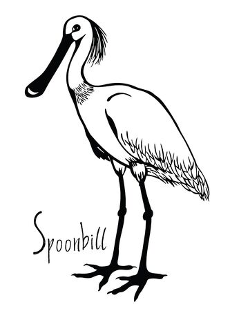 Birds collection Spoonbill Black and white vector Wildlife Illustration