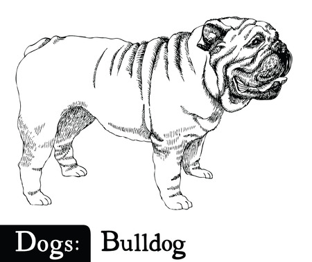 Boceto de estilo de dibujo Perro Bulldog Mano Ilustración de vector