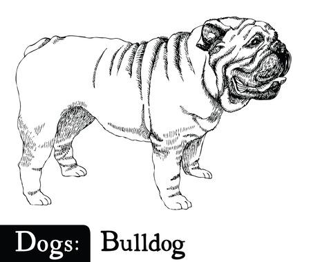 Dog Sketch style Bulldog Hand drawing