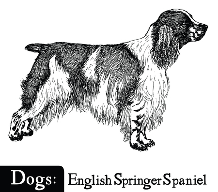 Dog Sketch style English Springer Spaniel Hand drawing Ilustração