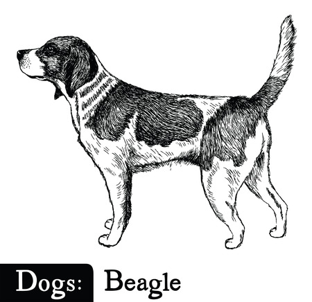 Dog Sketch style Beagle Hand drawing