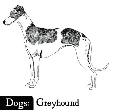 greyhound: Dog Sketch style Greyhound Hand drawing