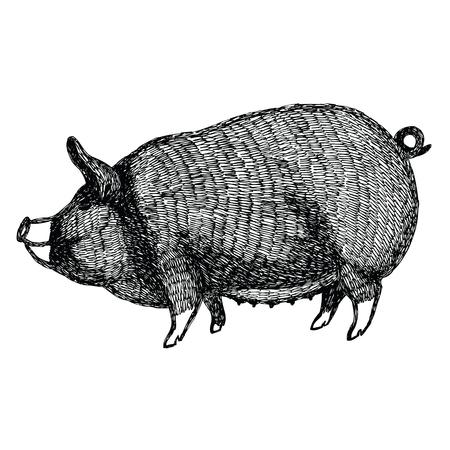 Berkshire pig Vector illustration Sketch style Hand drawn set Illustration