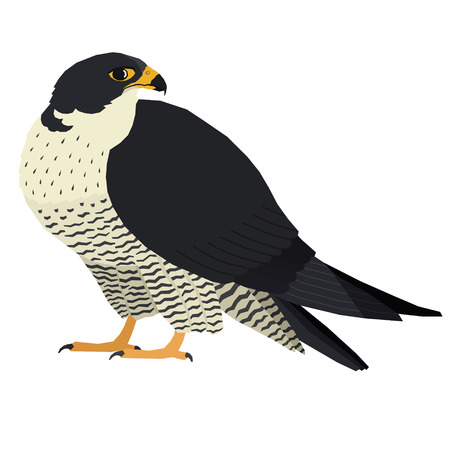 Birds collection Vector illustration of a peregrine falcon Isolated object set Ilustracja