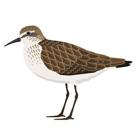 Birds collection Sandpiper Vector illustration Isolated object set Illustration