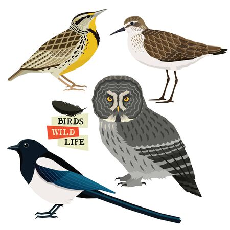 Magpie, Great grey owl, Sandpiper, Western meadowlark Birds collection Vector illustration Isolated objects set