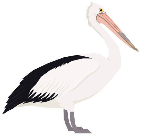 Australian pelican bird Vector illustration Isolated object set