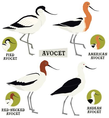 Birds collection Avocet birds Vector illustration Isolated object set 向量圖像