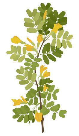 Flowering Caragana Branch Yellow acacia Flat vector illustration Isolated object set Illustration