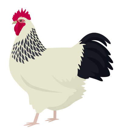 Light Sussex rooster Breed of chickens Vector illustration Isolated object set