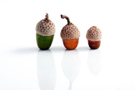 Acorns isolated on white photo