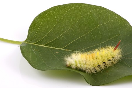 Macro caterpillar on white background photo