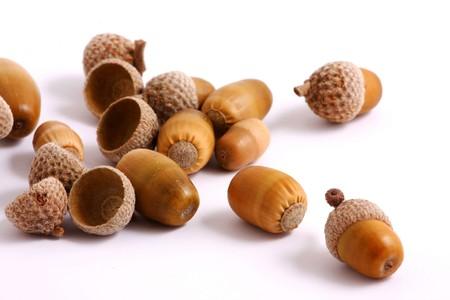 Acorns isolated on white background photo