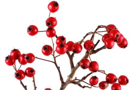 Hawthorn on a white background Stock Photo - 8044043