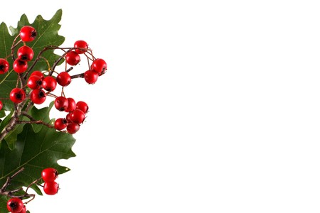Oak branch with red berries, isolated on white Stock Photo - 8044041