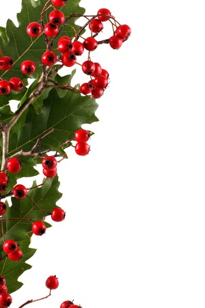 Oak branch with red berries, isolated on white Stock Photo - 8044050