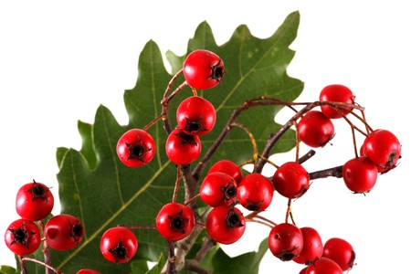 Oak branch with red berries, isolated on white Stock Photo - 8044052