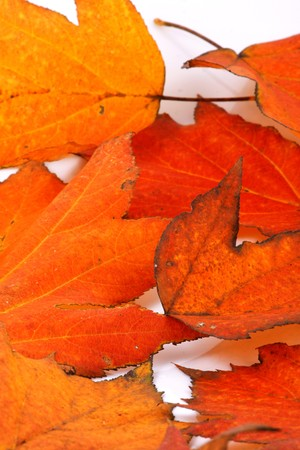 Brilliant color in details of fall leaves turned for autumn season photo