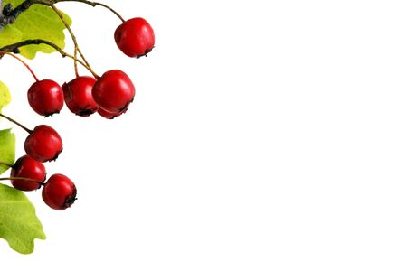 Branch with red berries, isolated on white Stock Photo - 8044776