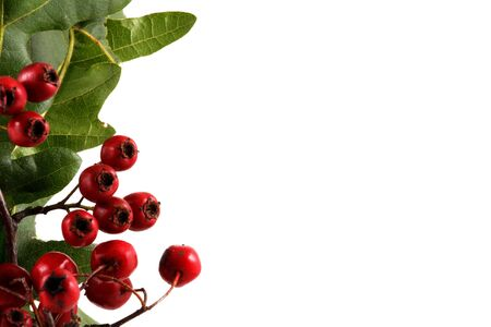 Branch with red berries, isolated on white