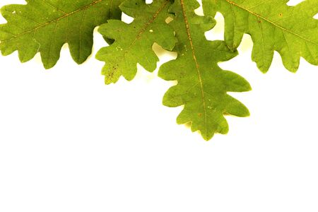 Oak branch isolated on white Stock Photo