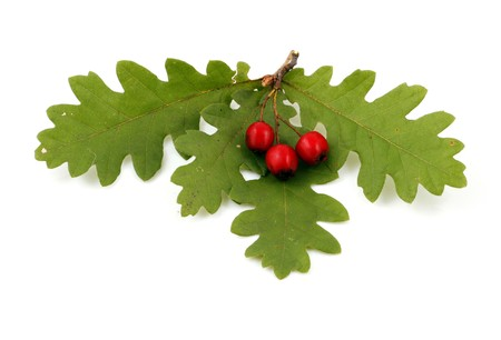 Oak branch with red berries, isolated on white Stock Photo - 8044796