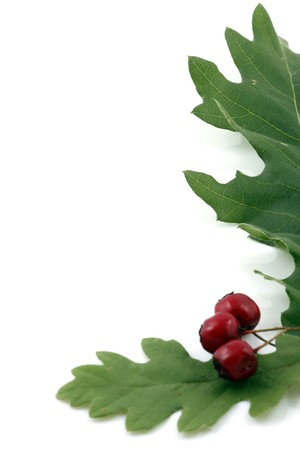 Oak branch with red berries, isolated on white photo