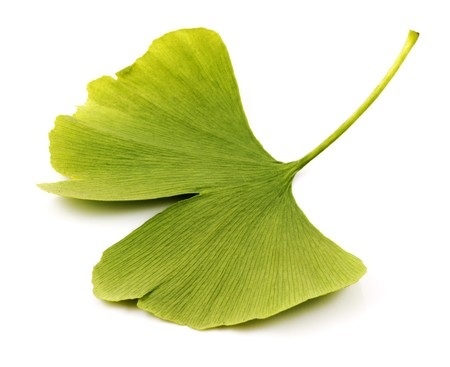 ginkgo leaf: Ginkgo biloba on white background