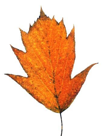 Beautiful autumn leaf close-up photo