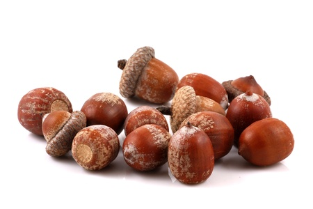 Acorns isolated on white background photo