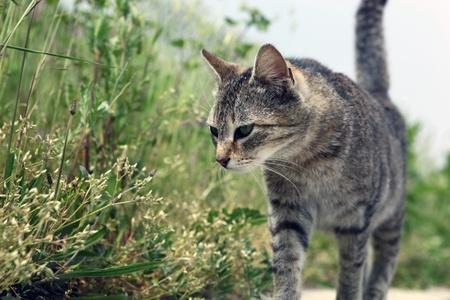 gato atigrado: gato de ojos
