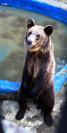 terrestrial mammals: Brown bear Stock Photo