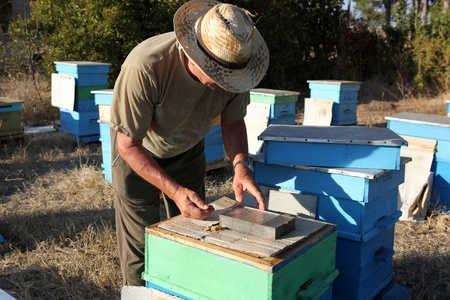 Beekeeper inspecting bees photo