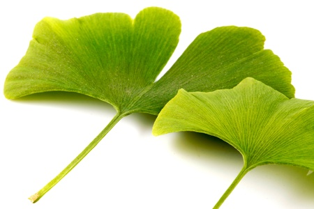 Ginkgo biloba on white background