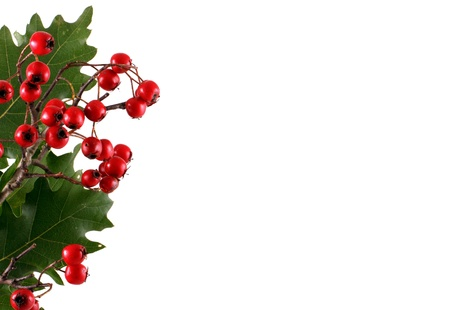 Oak branch with red berries, isolated on white Stock Photo
